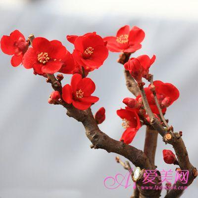 梅花粥   梅花粥   取白梅花5—7朵,掰下花瓣,用清水洗净待...