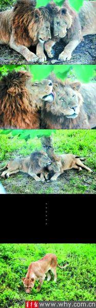 两头雄狮神态亲密腻在一起,一头母狮独自在一旁黯然神伤。网友 供图