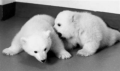 最萌孪生北极熊 可爱表情萌翻网友(多图)(8)