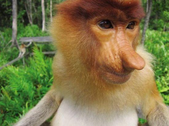 长鼻猴:国家地理野生动物频道评其最丑(图)