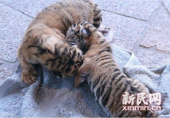 上海野生动物园松鼠猴和老虎分别诞下双胞胎(图)