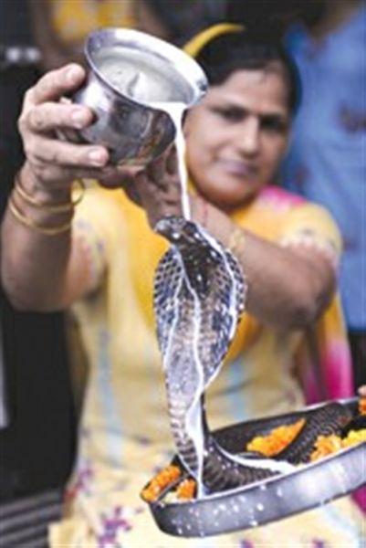 印度教信徒给眼镜蛇洗牛奶浴(图)
