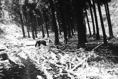 四川野生大熊猫闯入村民家偷吃羊羔(图)