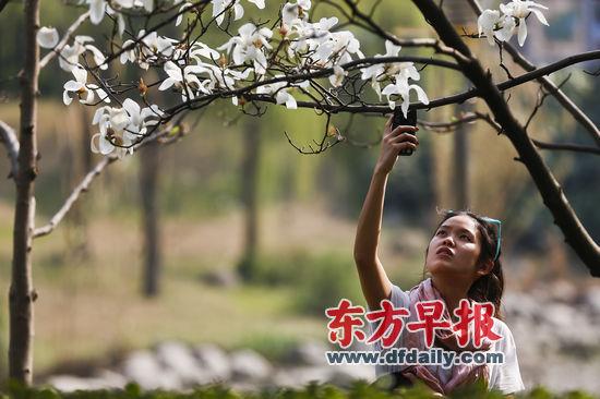 2013年3月9日,上海徐家汇公园,一位女士在阳光下拍摄花朵。 早报记者 杨一 图
