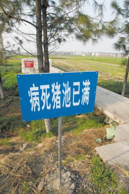 嘉兴市新丰镇竹林村附近的病死猪池,有些猪池尽管标明已满,仍有养殖户把死猪扔在外面