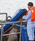 上海处理死猪:挖出7米深坑埋