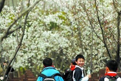 3月22日,小朋友在顾村公园踏青赏樱。 本报记者 张海峰 摄
