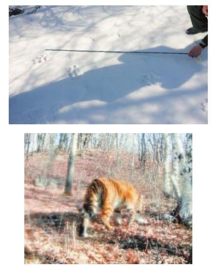 老虎在雪地上留下的脚印