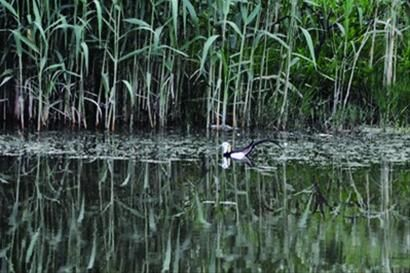 水雉现身复旦江湾校区在浮水植物上跳跃行走