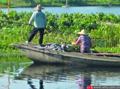 """大丰养殖场正在塘中打捞""""热死鱼""""。"""