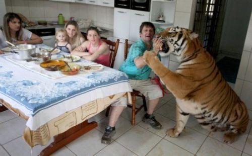 巴西土豪养老虎做朋友(图)(2)