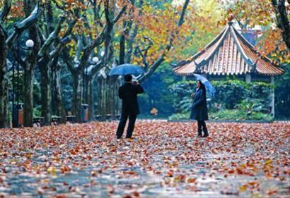 雨水洗涮后的申城空气很清新,被雨水打下的梧桐树叶铺就了浪漫道路。 /晨报记者 殷立勤