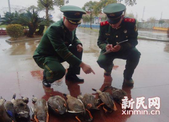 警方在网兜中查获9只已被毒害的野生斑嘴鸭。上海市公安边防支队供图
