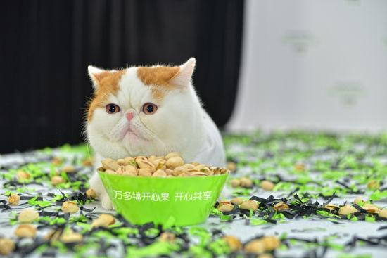 网络人气萌猫红小胖凹造型玩转开心果