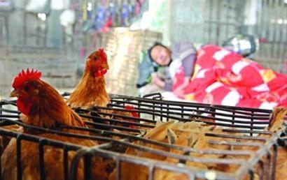 接触活禽及活禽市场暴露是感染H7N9禽流感的高危因素 /晨报记者 殷立勤