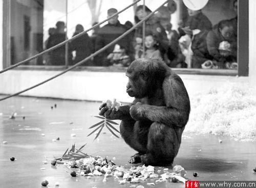 大猩猩成年后普遍难找对象。青年报资料图
