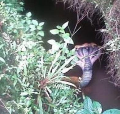 五头蛇 世界上最大的十头蛇 头是三角形的蛇 真五蛇殿