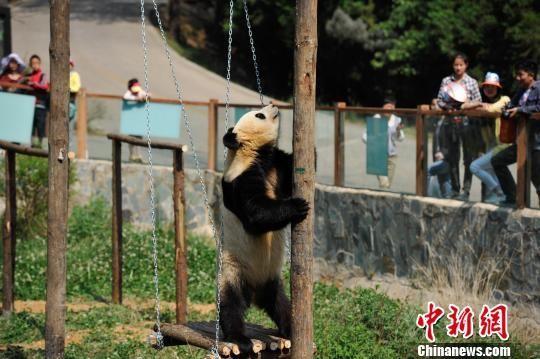 动物园熊猫装电视(图)