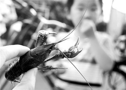 □洗刷小龙虾最好戴手套,如果被钳伤,伤口深的话有必要打破伤风针。 /晨报记者 何雯亚