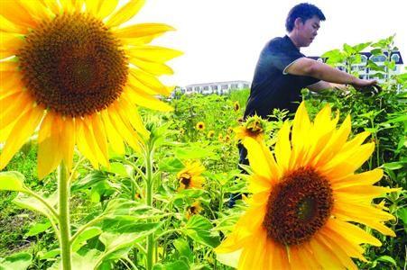 □王子彧老师为毕业生种下的向日葵正盛放 /晨报记者 陈征