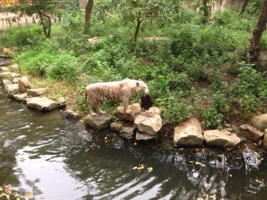 上海动物园内女子逗老虎反被老虎衔走包包