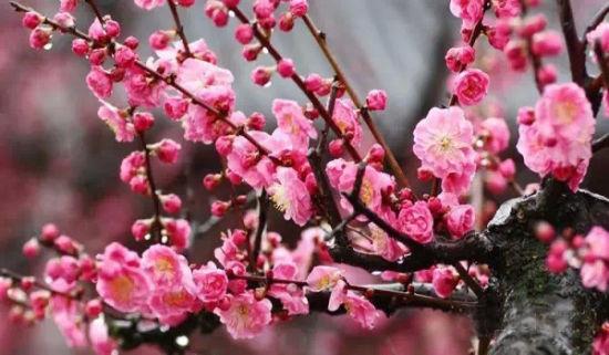 海湾国家森林公园梅花节