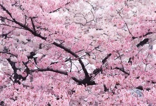 江浙沪可以赏樱花的度假酒店南京颐和公馆酒店