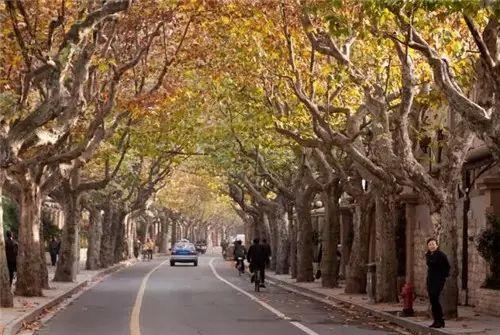 """秋意渐浓时,一排排高大的""""法国梧桐"""",地上铺一层金色落叶,在欧式建筑"""