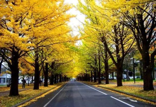 另外,长兴岛上还有大片的银杏黄叶可欣赏.   交通