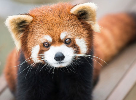 动物保护,其繁殖项目已经成功挽救了马来熊和苏门答腊虎等濒危物种.