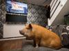 宠物猪沉迷看剧