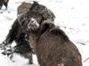 野猪冰天雪地打斗