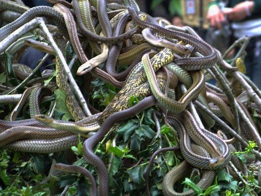野鸡脖子蛇 世界上最大的蛇500米 土球子蛇