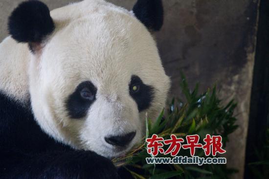 """上海动物园,大熊猫""""鹏鹏""""在吃竹子"""