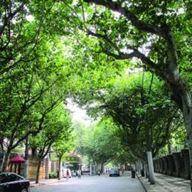 华山路(镇宁路-江苏路段)入围第二批林荫道公示名单 晨报资料图片