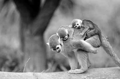 松鼠猴妈妈背着两只小猴