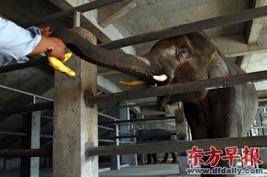 缅甸情侣象落户野生动物园11月18日与游客见面