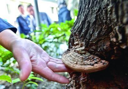 □市民发现的扇形菌类就长在距离地面30厘米的树干上 肖允 现场图片