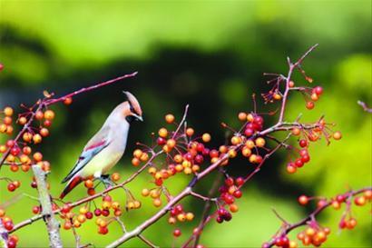 昨日,太平鸟品尝美味的海棠果。宾江 现场图片