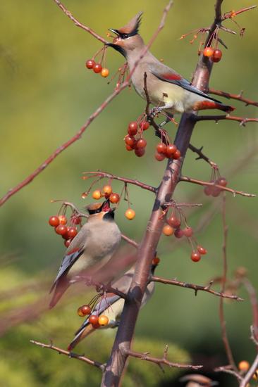 大批太平鸟到上海来过冬体态优美头顶细长羽冠