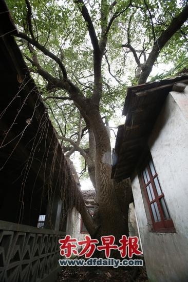 500岁上海最老香樟现身崇明胸围5.9米创之最