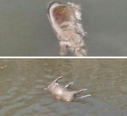 嘉定河道内发现漂浮死猪。 来源:新浪微博