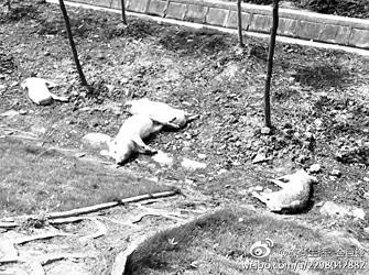 死猪三三两两被抛于高速公路外的绿化林地中。图片来自@碟尚生活--金巨锋