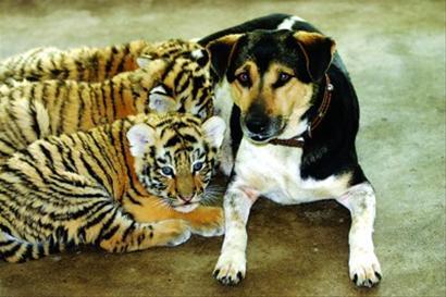 狗妈妈为虎宝宝喂奶。  戚华 摄