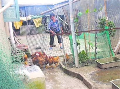 石湖荡农民自家散养鸡。 龚丹韵摄