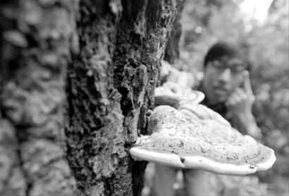 """□绍兴路一小区里的树上长出大""""蘑菇"""" /晨报记者 肖允"""
