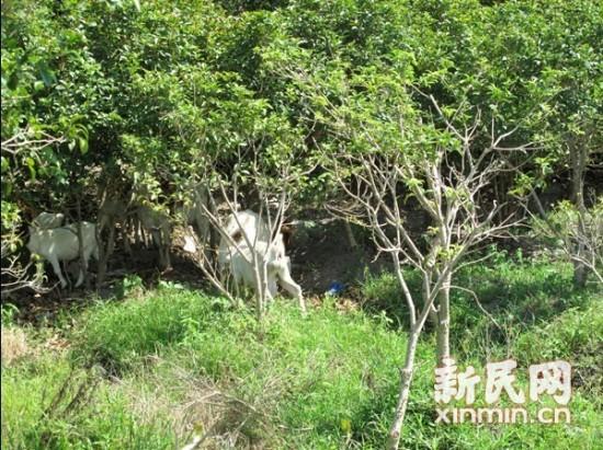 两边的灌木丛中吃草