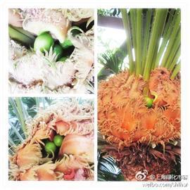 辰山植物园百年铁树开花