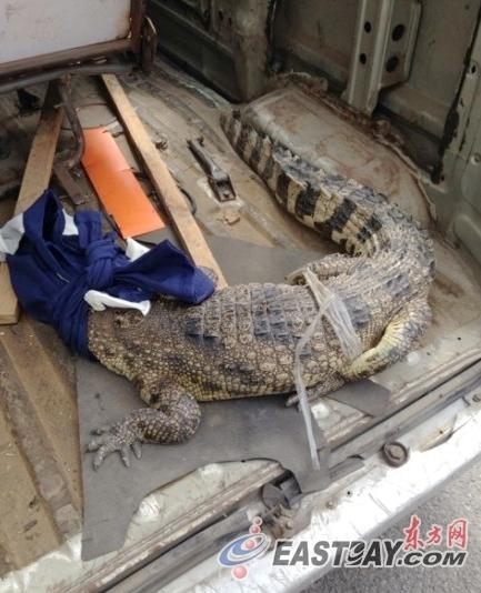 上海奉贤公安分局今天接到辖区居民来电反映,在上海外环线近曹安公路口捡到一条活鳄鱼。