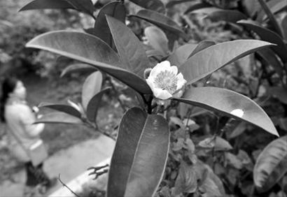 今年入秋晚,植物园的花朵也出现反季节开放。 /晨报记者 陈征